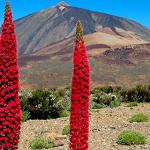 Tajinastes rojos al pie del Teide